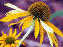 Gele Coneflower - Echinacea royalty-vrije stock afbeeldingen