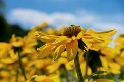 Gele coneflower - rudbeckiadetail Royalty-vrije Stock Afbeeldingen
