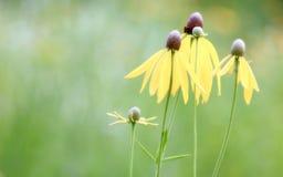 Gele Coneflowers Royalty-vrije Stock Afbeelding