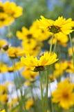 Gele coreopsisbloemen Royalty-vrije Stock Afbeeldingen