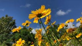 Gele coreopsisbloemen die in de wind blazen stock footage