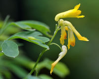 Gele corydalis (Corydalis-lutea) royalty-vrije stock fotografie