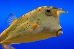 Gele Cowfish Stock Afbeeldingen