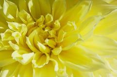 Gele Dahlia stock afbeeldingen