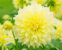 Gele dahlia in aard royalty-vrije stock fotografie