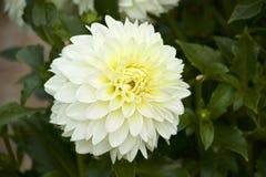 Gele dahlia in tuin Stock Afbeeldingen