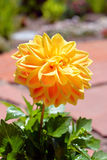 Gele Dahliabloem in bloei Stock Afbeelding