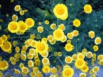 Gele Daisy Stock Foto's