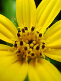 Gele Daisy Flower Macro Close Up Royalty-vrije Stock Fotografie