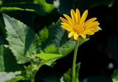 Gele Daisy Green Leaves royalty-vrije stock foto's