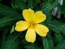 Gele Damiana Flower Blooming in Installatie Stock Fotografie
