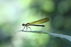 Gele Damselfy/Dragon Fly die /Zygoptera in de rand van bamboestam zitten met mooie bokeh Royalty-vrije Stock Foto