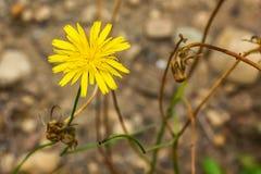 gele dandilionbloemen in bruine aarde in de recente zomer royalty-vrije stock foto's