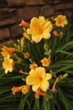 Gele Daylilies Stock Fotografie