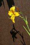 Gele Daylily (Hemerocallis-lilioasphodelus) Royalty-vrije Stock Foto