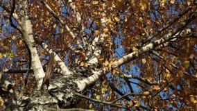 Gele de bladerenclose-up van de berkboom over een blauwe hemel stock video