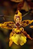 Gele de bloembloei van de oncidiumorchidee in een botanische tuin Royalty-vrije Stock Foto's