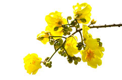 Gele de bloemenbloesem van Tabebuiachrysotricha royalty-vrije stock foto's