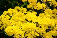 Gele de bloemenbloesem van Tabebuiachrysotricha royalty-vrije stock foto