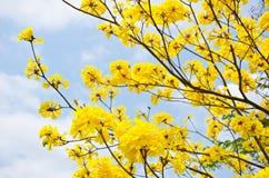 Gele de bloemenbloesem van Tabebuiachrysotricha stock afbeeldingen