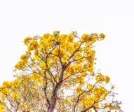 Gele de bloemenbloesem van Tabebuiachrysotricha Stock Foto