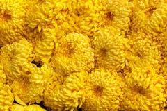 Gele de bloemenlente van de achtergrondtextuur de abstracte chrysant Royalty-vrije Stock Foto
