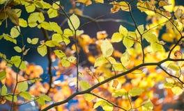 Gele de boomtak van de herfstbladeren backlight Stock Foto's