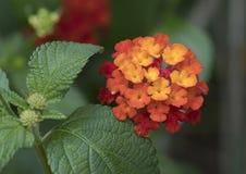 Gele de close-up en nam bloei, Lantana Camara toe Royalty-vrije Stock Foto