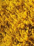 Gele de Forsythiabloemen van maart Stock Fotografie