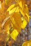 Gele de herfstbladeren Stock Afbeelding