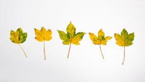 Gele de herfstbladeren Royalty-vrije Stock Afbeeldingen