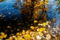 Gele de herfstbladeren die op water drijven Stock Foto