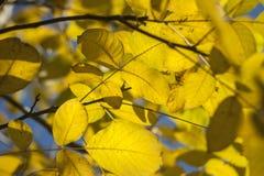 Gele de herfstbladeren nog op bomen 5 Stock Foto's