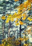Gele de herfstbladeren op een boom Stock Fotografie