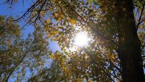 Gele de herfstbladeren op een boomtak tegen de heldere zon en de blauwe hemel stock footage