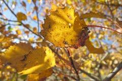 Gele de herfstbladeren op een heldere blauwe hemelachtergrond royalty-vrije stock afbeeldingen