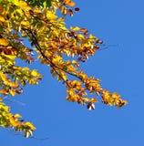 Gele de herfstbladeren tegen blauwe hemel Royalty-vrije Stock Foto's