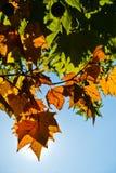 Gele de herfstbladeren tegen blauwe hemel op een zonnige de herfstdag in Belgrado Royalty-vrije Stock Fotografie