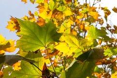 Gele de herfstbladeren tegen hemel op de achtergrond Het gebladerte van de daling Royalty-vrije Stock Foto's