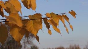 Gele de herfstbladeren van berk stock footage