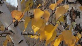 Gele de herfstbladeren van berk stock video
