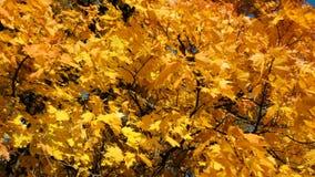Gele de herfstbladeren van esdoorn op een duidelijke zonnige dag, camerabeweging stock footage
