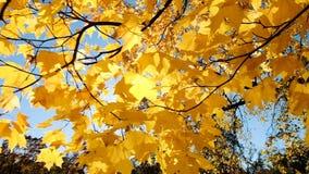 Gele de herfstbladeren in de zon, de langzame beweging van de motiecamera stock footage