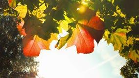 Gele de herfstbladeren in zonnig weer raadpleging stock video