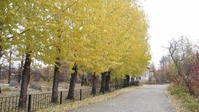 Gele de herfstbomen stock footage
