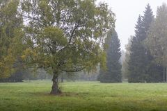 Gele de herfstboom op groen gebied Stock Foto's