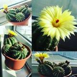 gele de installatiecollage van cactusbloemen stock foto