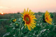 Gele de knop dichte omhooggaand van het zonnebloemgebied stock foto's