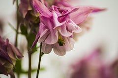 Gele de knop van bloemaquilegia Stock Foto's