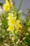 Gele de Leeuwebekmajus van de leeuwebekbloem in de lente het bloeien Stock Fotografie